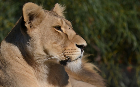 ef2ipekuns5etoxto5ej - 8 Appear In Court After Being Found With Lion's Paws, Bones